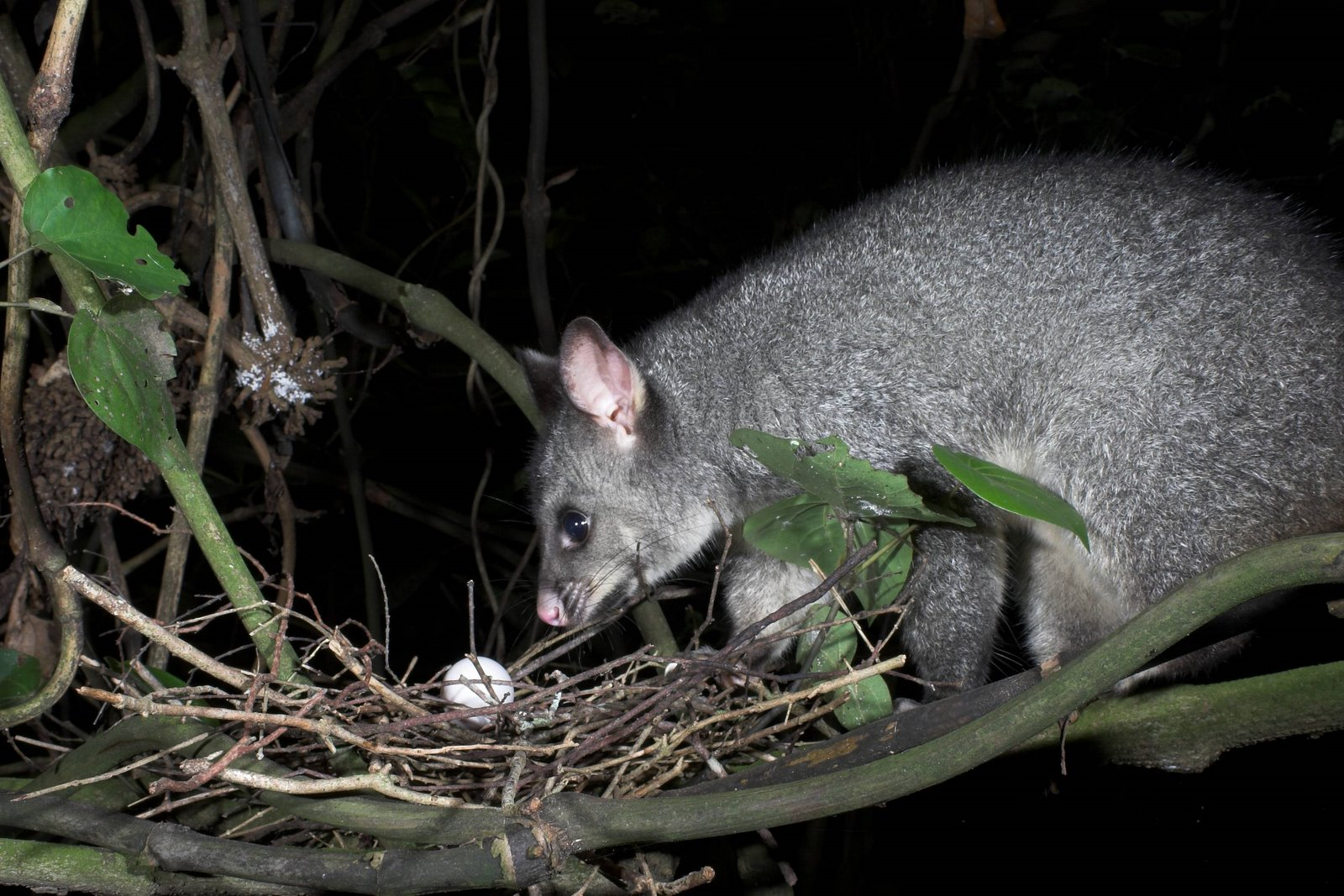 Predator possum approaching a bird's egg in the nest