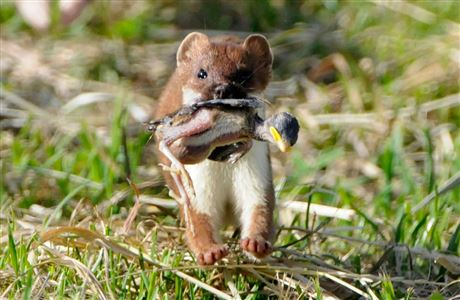 Stoat with baby bird in its mouth
