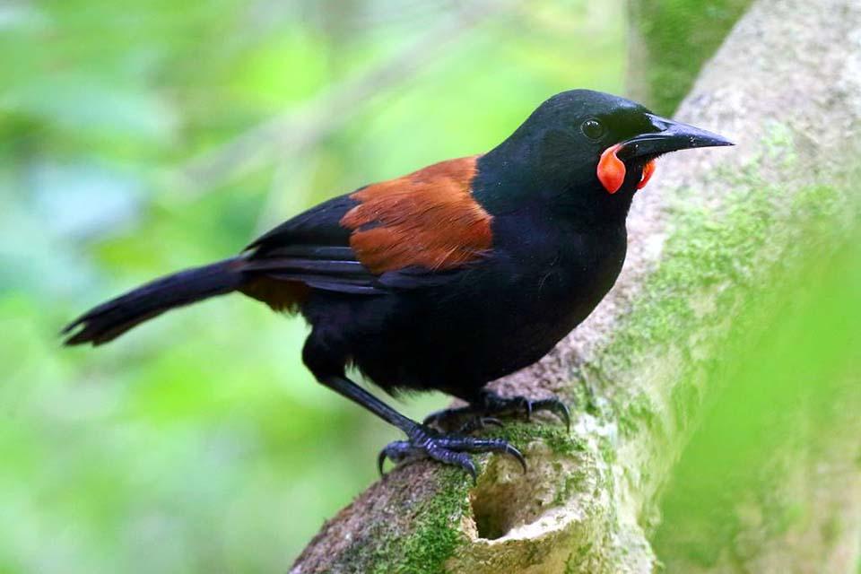 tīeke; saddleback; birds; wildlife; Brook Sanctuary; Garden Bird Survey
