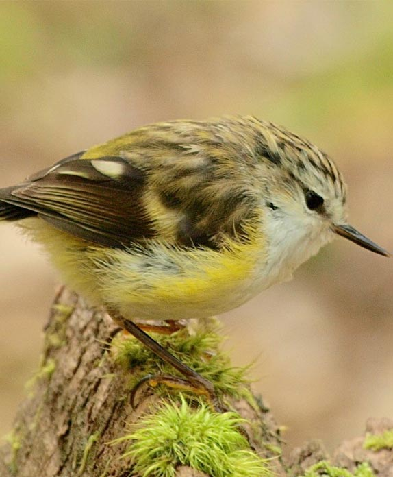 Titipounamu (rifleman); bird; Brook Sanctuary; wildlife