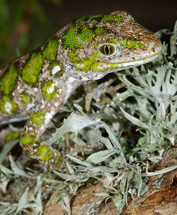Nelson Green Gecko; gecko; wildlife; reptiles; Brook Sanctuary