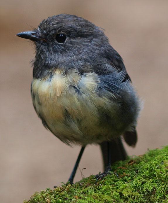 Get involved; kakaruai; South Island Robin; wildlife; birds; Brook Sanctuary