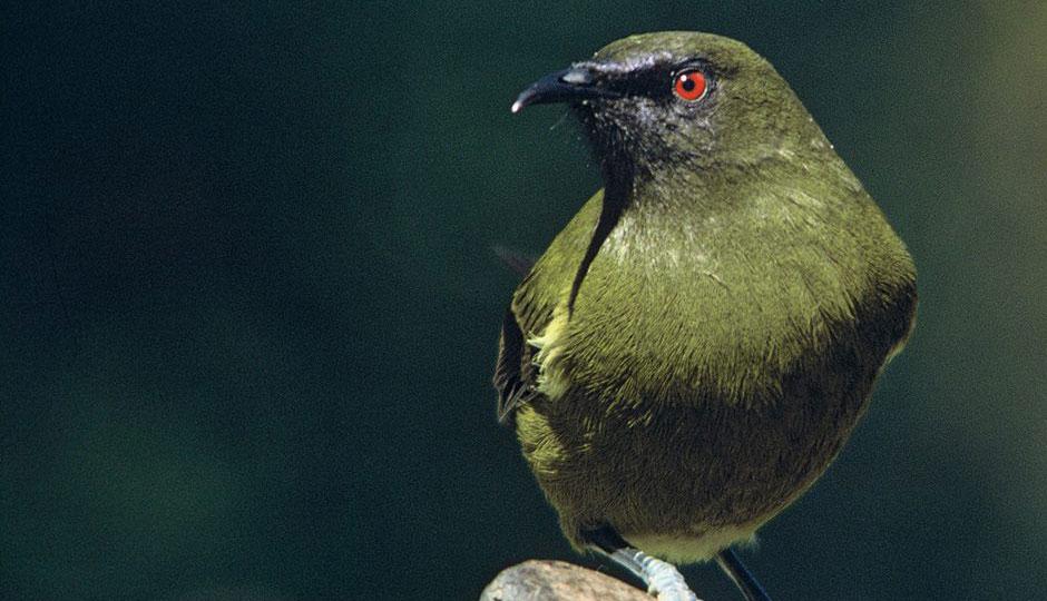 Get Involved; Bellbird; Business Club; Brook Sanctuary; Discover; Highlights; Korimako; We've Got This; Birds;