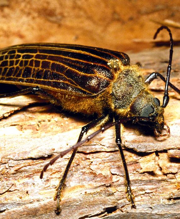 Huhu beetle; insects; wildlife; Brook Sanctuary