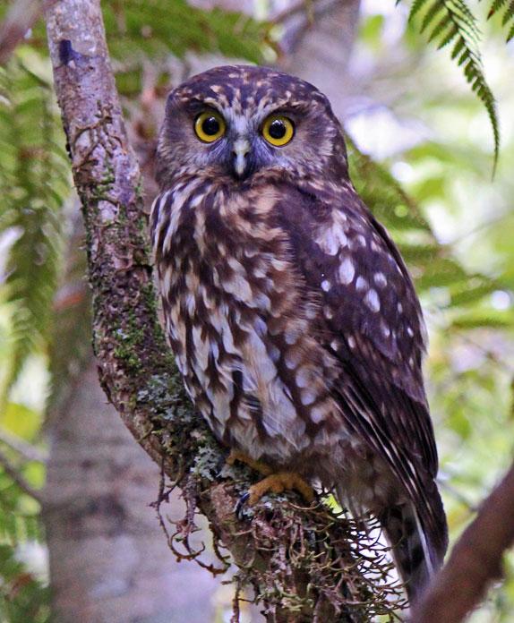 Ruru; Morepork; birds; wildlife; Brook Sanctuary