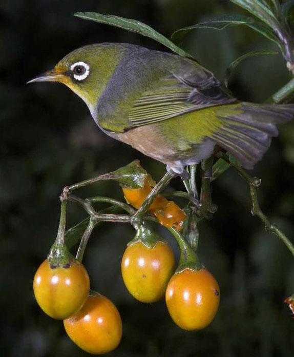 Tauhou; Silvereye; Waxeye; birds; wildlife; Brook Sanctuary