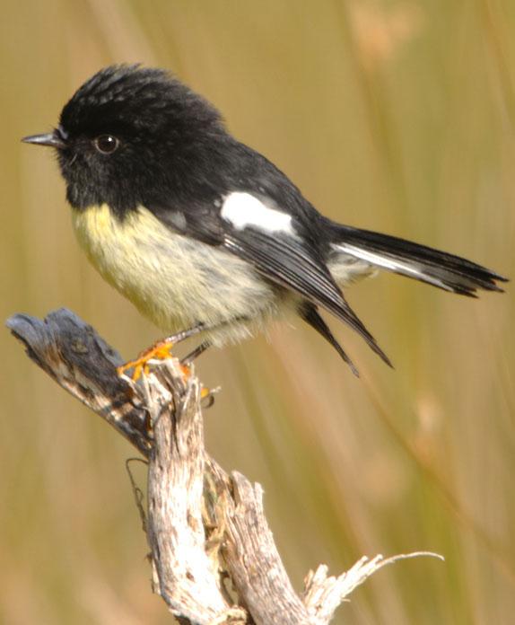 Miromiro; Tomtit; birds; wildlife; Brook Sanctuary