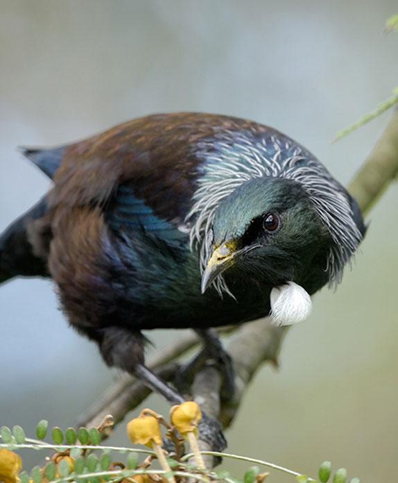 Tui; wildlife; birds; Brook Sanctuary