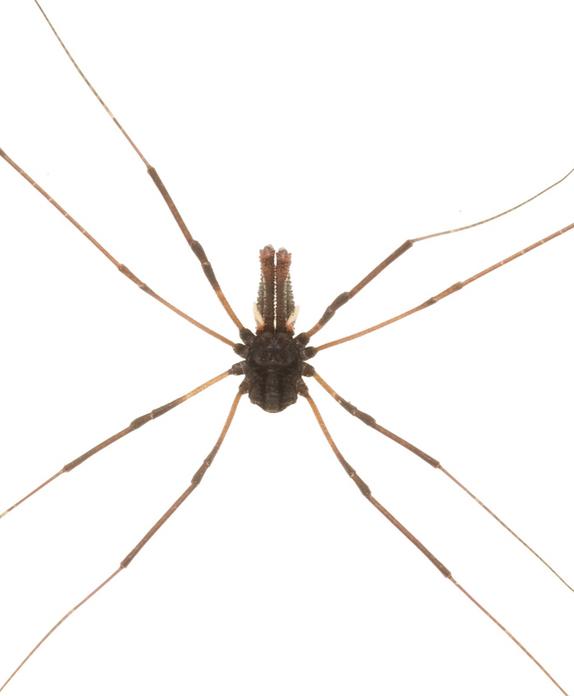 Harvestman Spider; spider; insect; wildlife; Brook Sanctuary