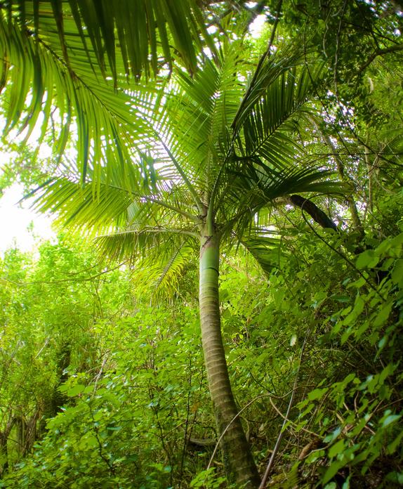 Nikau palm; Brook Sanctuary; wildlife; plants