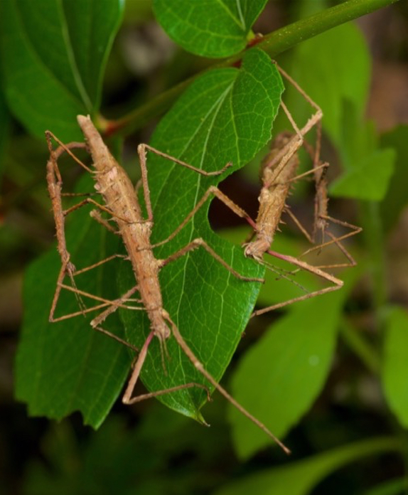 Stick insects: Brook Sanctuary; insect; wildlife