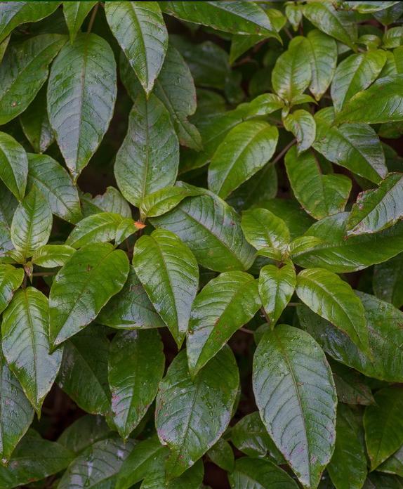 Kōtukutuku; tree fuchsia; plants; wildlife; Brook Sanctuary
