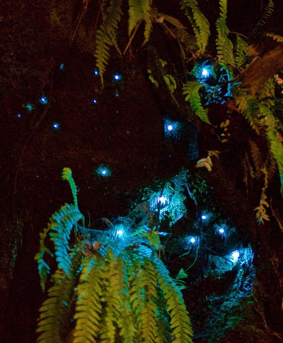 Glowworms; bush; Brook Sanctuary; wildlife