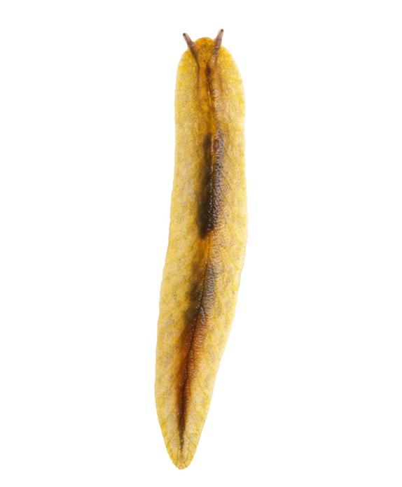 Leaf Veined Slug; wildlife; Brook Sanctuary