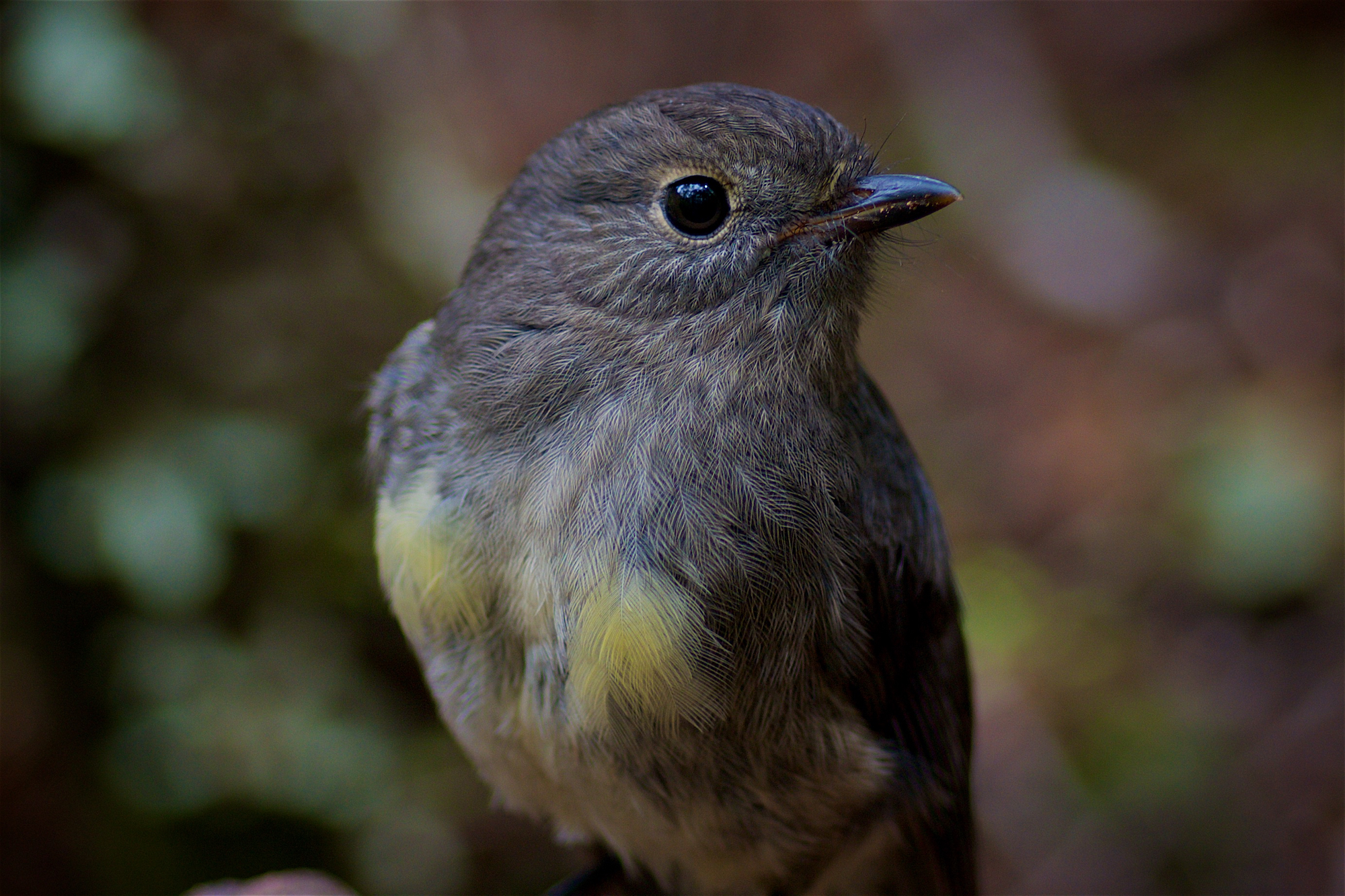 South Island Robin; Nature photography course
