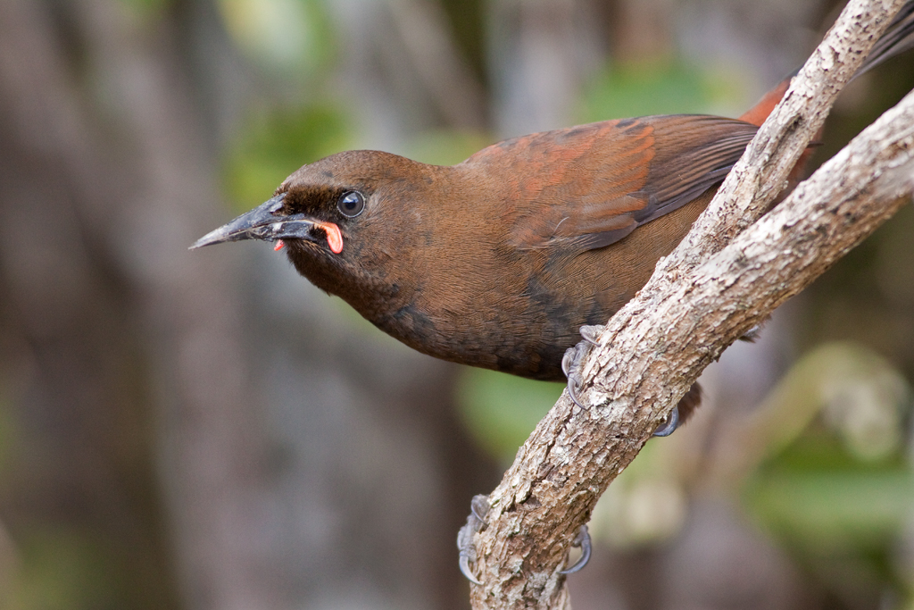 Tīeke; saddleback; birds; wildlife; Brook Sanctuary; what to see and do; our story our vision
